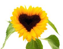 Sonnenblume In Herzform