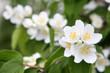 canvas print picture - spring flowers - white flower jasmine