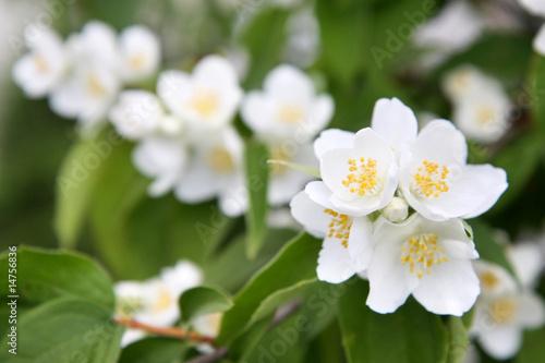 Photo  spring flowers - white flower jasmine