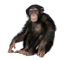 Young Chimpanzee - Simia Trogl...