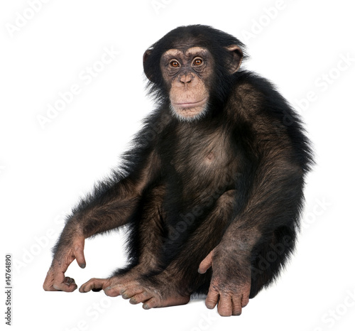 Photo sur Aluminium Singe Young Chimpanzee - Simia troglodytes (5 years old)