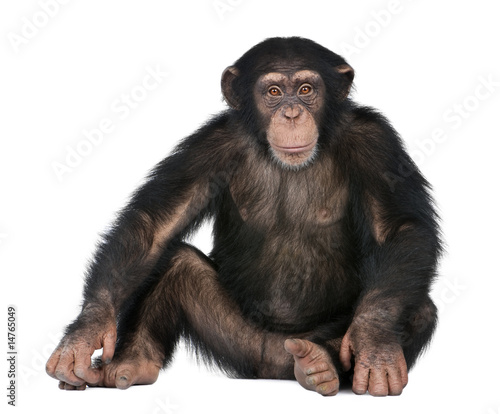Photographie Young Chimpanzee - Simia troglodytes (5 years old)