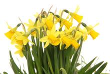 Spring Yellow Daffodils Cutout