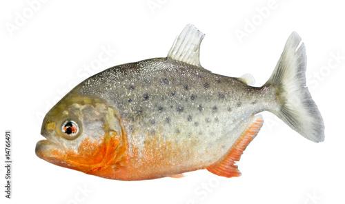 Piranha - Serrasalmus nattereri Canvas-taulu