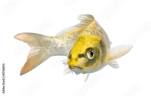 Láminas  Yellow Koi ogon- Cyprinus carpio