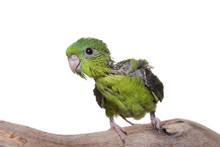Parakeet, Lineolated, Baby, Isolated On White
