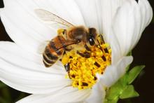 African Honey Bee Gathering Po...