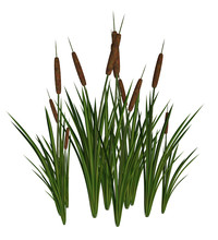 Green And Brown Cattails