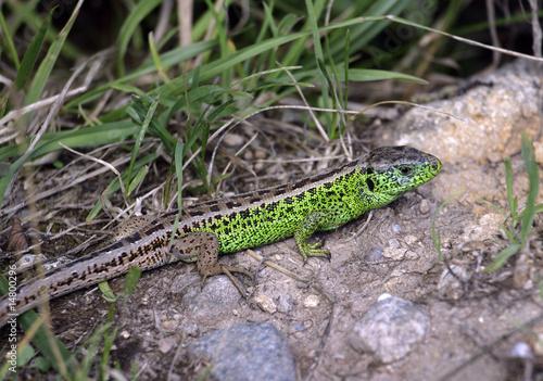 Valokuva  Lézard vert