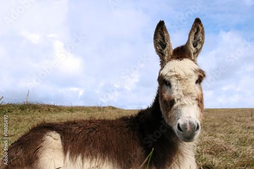 Photo Stands Ass little donkey