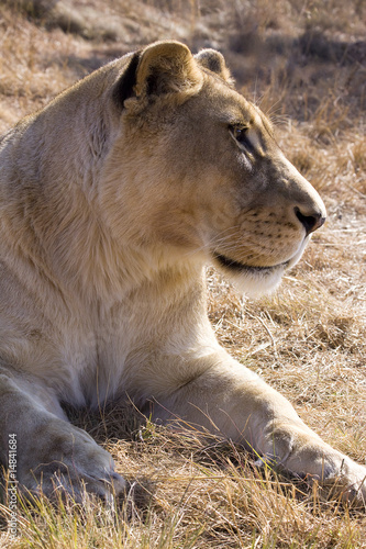 Photo  Portrait of a lioness