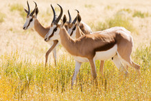 Three Young Springbok In The K...