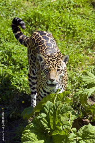 In de dag Panter Jaguar