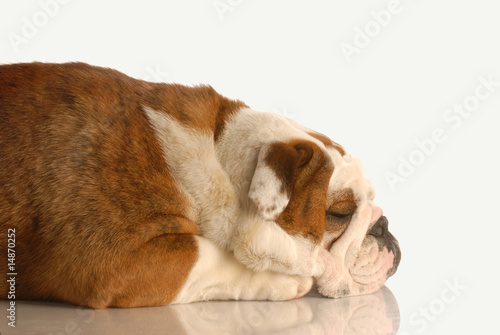 english bulldog sleeping isolated on white background © Willee Cole