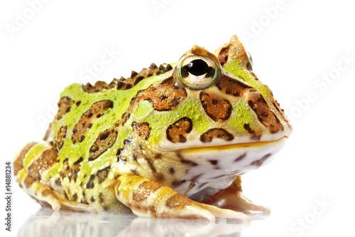 Fotobehang Kikker Horned Frog