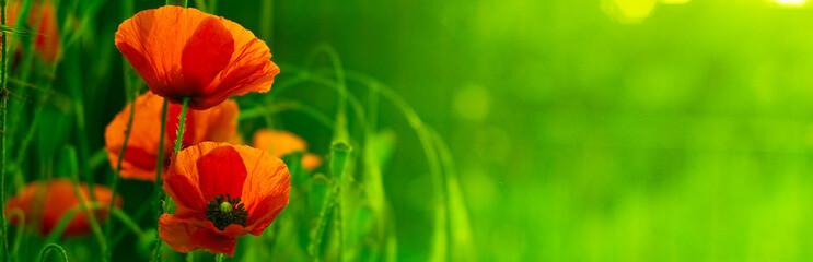 Panel Szklany Do kuchni bandeau horizontal vert et fleur rouge - nature et coquelicot