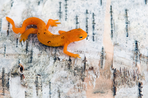 Spotted Newt Canvas Print
