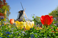 Typical Dutch: Mill And Tulips...