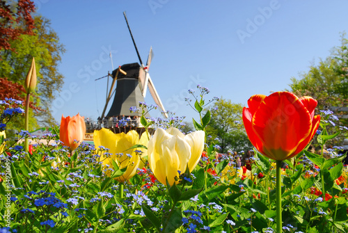 Fotografía  typical dutch: mill and tulips in keukenhof holland