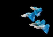 Swimming Blue Guppy, Tropical Fish Pet