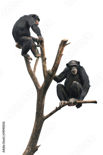 Chimpanzees on a Bare Tree Tablou Canvas