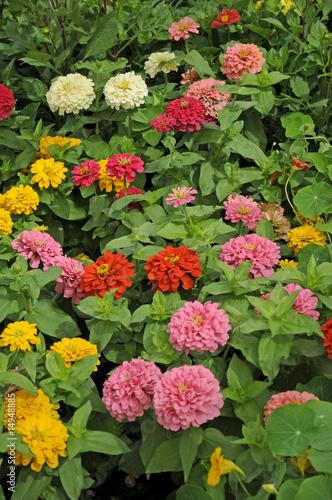 Poster de jardin Dahlia Sommerblumen