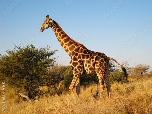Staande foto Struisvogel Giraffe