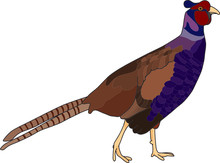 Vector - Color Pheasant Isolat...