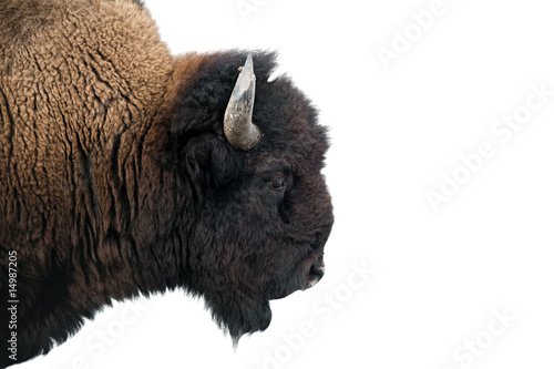 Tuinposter Bison American Bison in Yellowstone National Park isolated on white