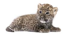 Profile Of A Persian Leopard C...