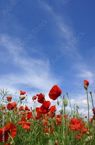 Fototapeta Red poppy on green wheat field. obraz