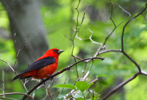 Photo  Scarlet Tanager