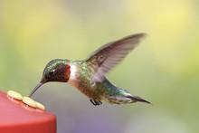 Ruby-throated Hummingbird At A Feeder