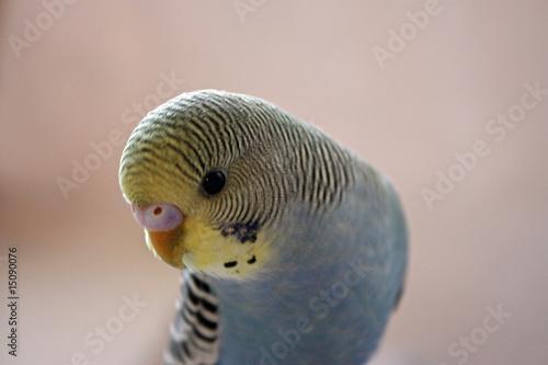Photo  parakeet close up