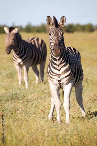 Poster Zebra Zebras