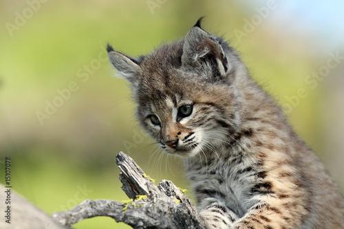 Photo Bobcat Kitten
