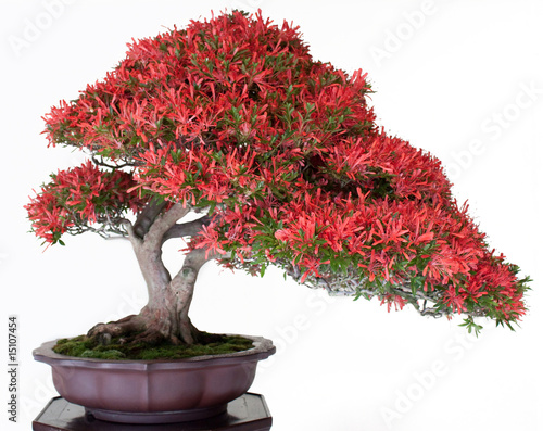 Spoed Foto op Canvas Bonsai Crimson Bonsai