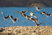 Flying Willets