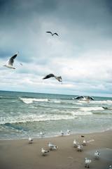 Fototapeta Morze Seagulls at the Baltic sea.