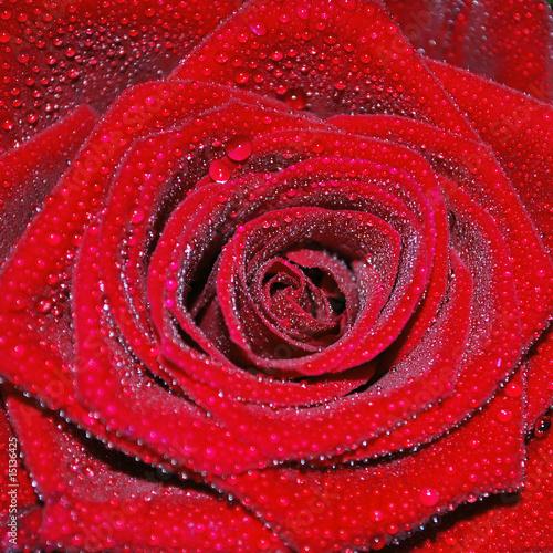 Tau auf Rose q