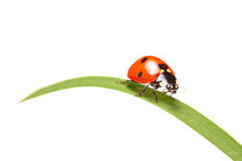 Ladybird Walking On A Leaf Isolated On White Background