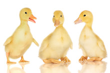 Three Ducklings Isolated On Wh...