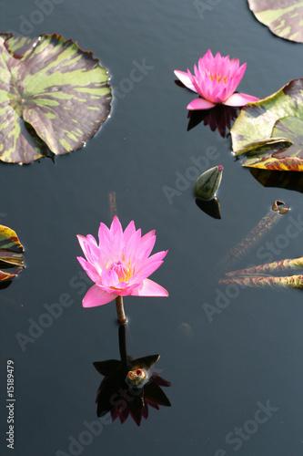 Deurstickers Waterlelies Water lilies