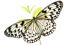 Black And White Butterfly (Ide...