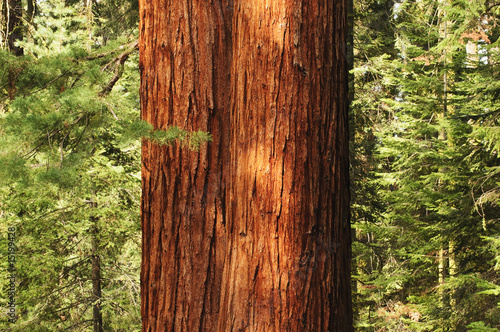 Poster Parc Naturel close up of Redwwod tree in forest