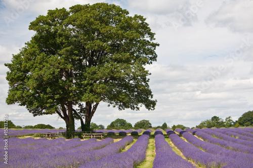 Fototapety, obrazy: Rows Of Lavender