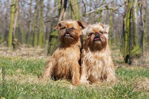 Photographie  deux griffon bruxellois assis côte à côte dans l'herbe - arbres