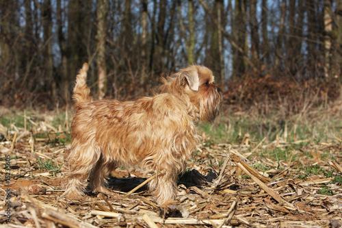 Photographie  griffon bruxellois adulte de profil à l'arrêt devant une forêt