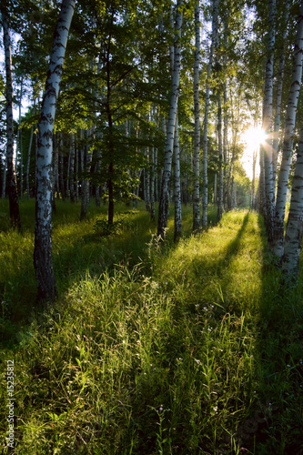 Deurstickers Berkbosje Birch forest in the morning