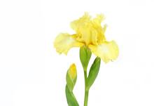 Elegant Yellow Iris On White
